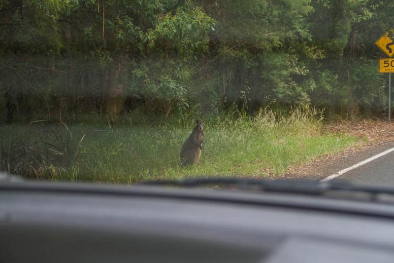 Canguro en la carretera