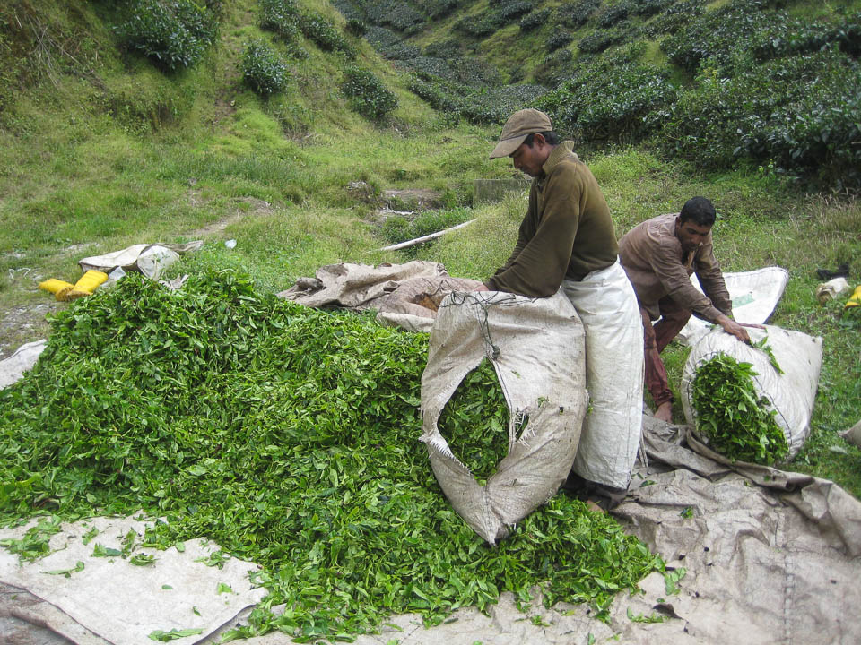 Recolectando hojas de té.
