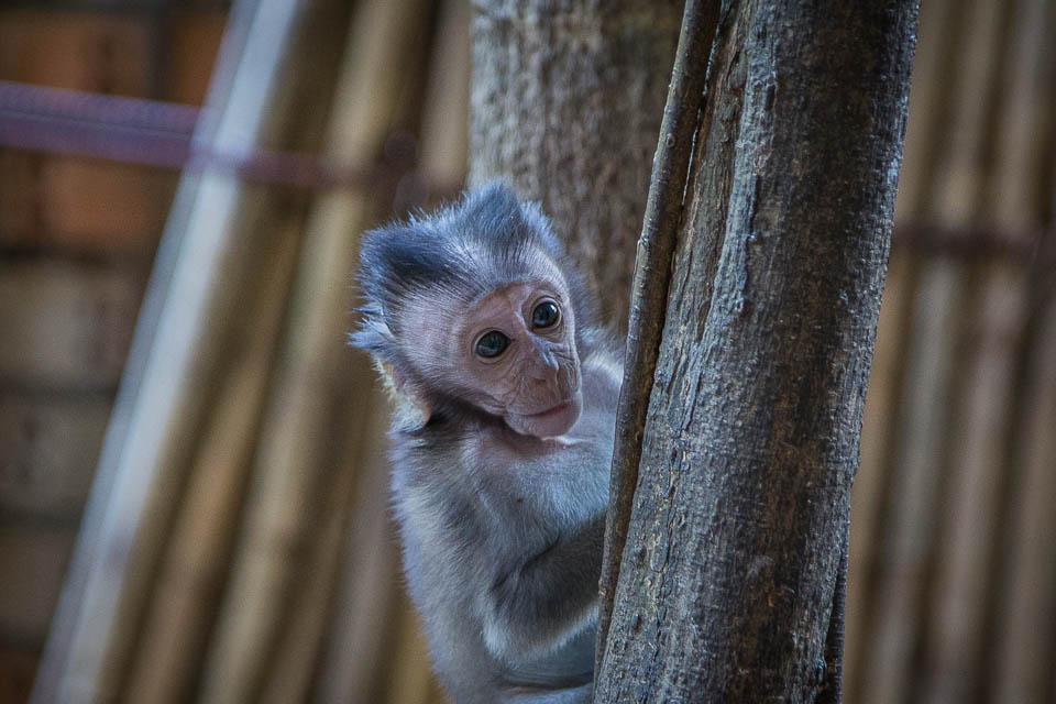 Cría de mono.