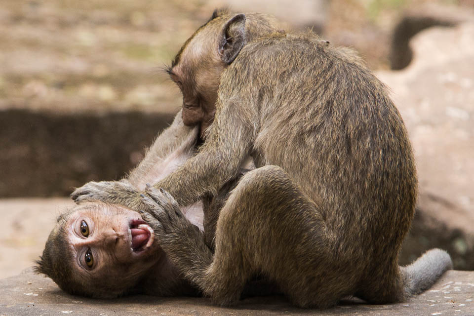 Monos peleándose.