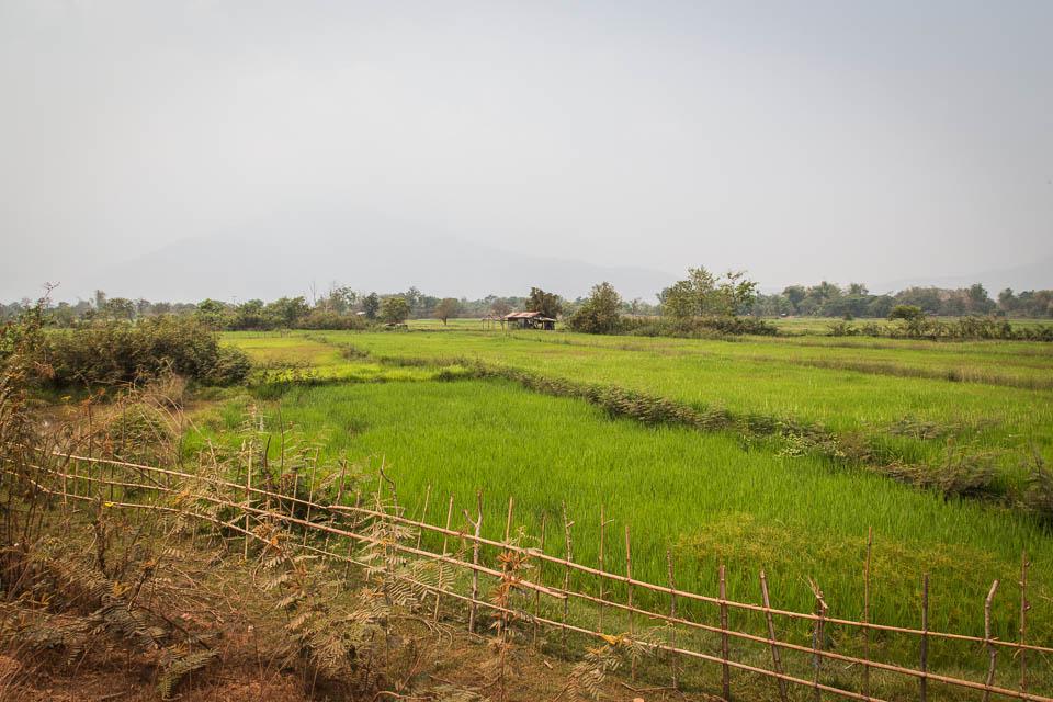 Campos de arroz.