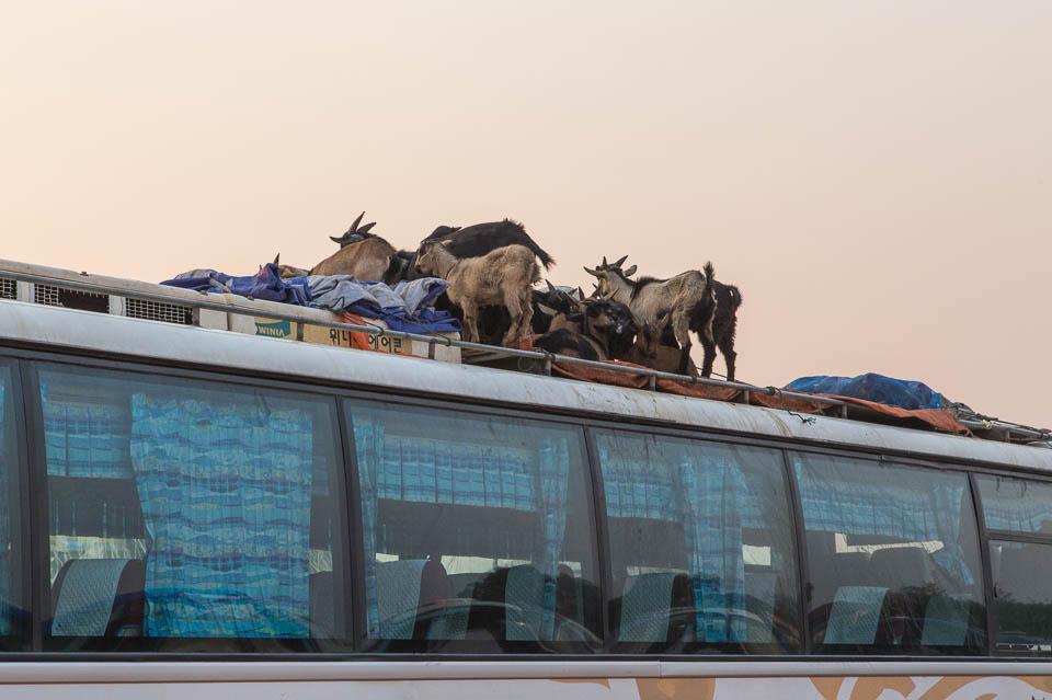 Cabras en bus.