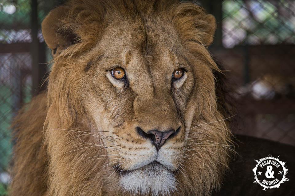 Elegancia leona.