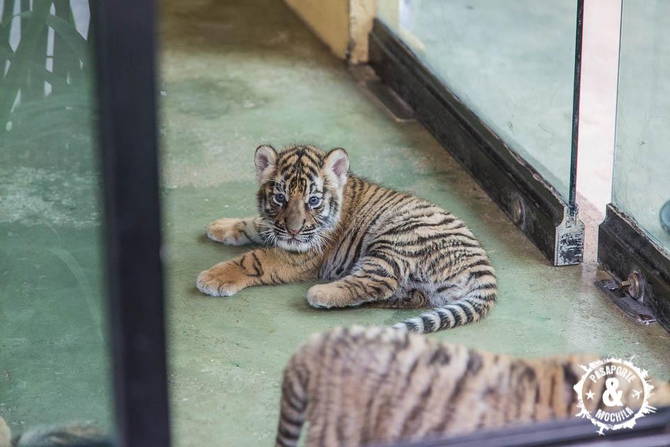 Pequeño tigre.