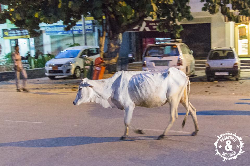 Vaca en la calle