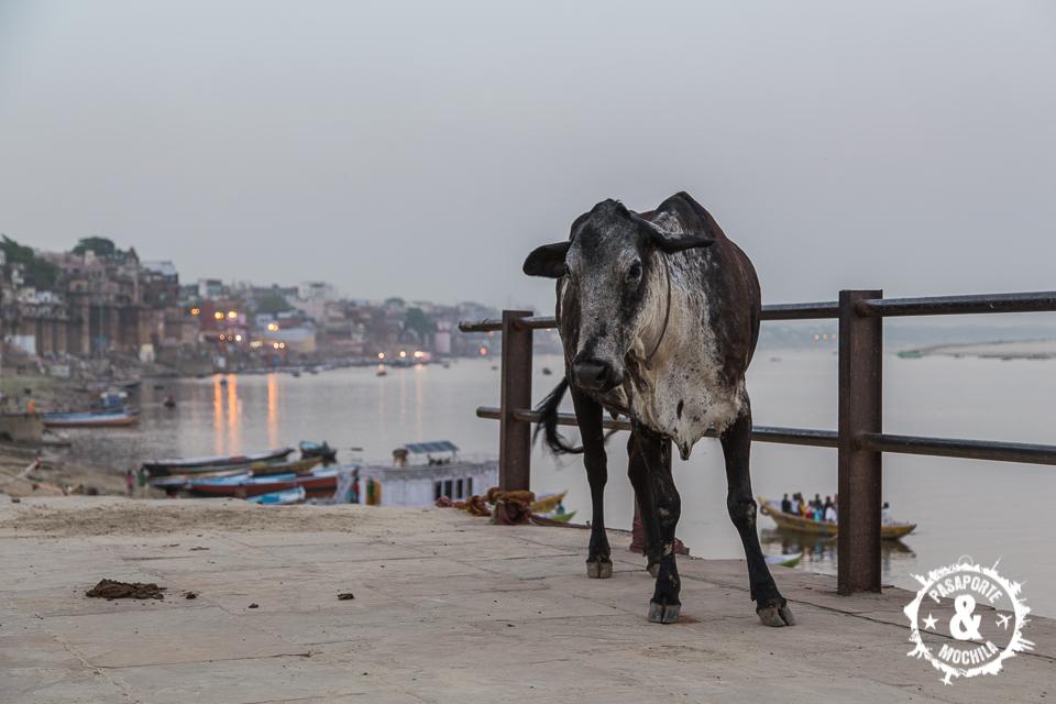 Vaca al atardecer