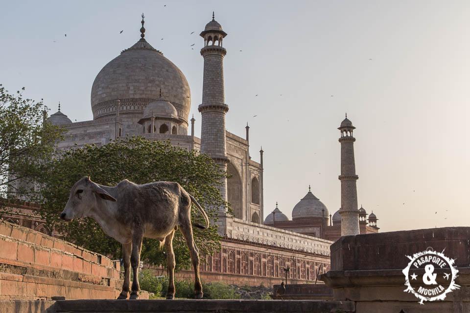 Vacas en Taj