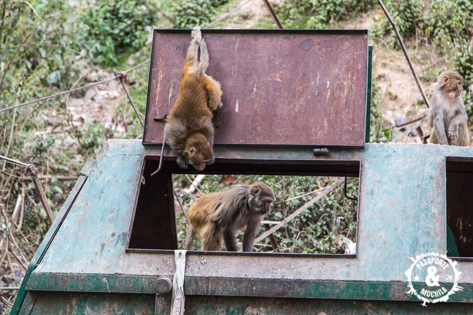Mono buscando comida
