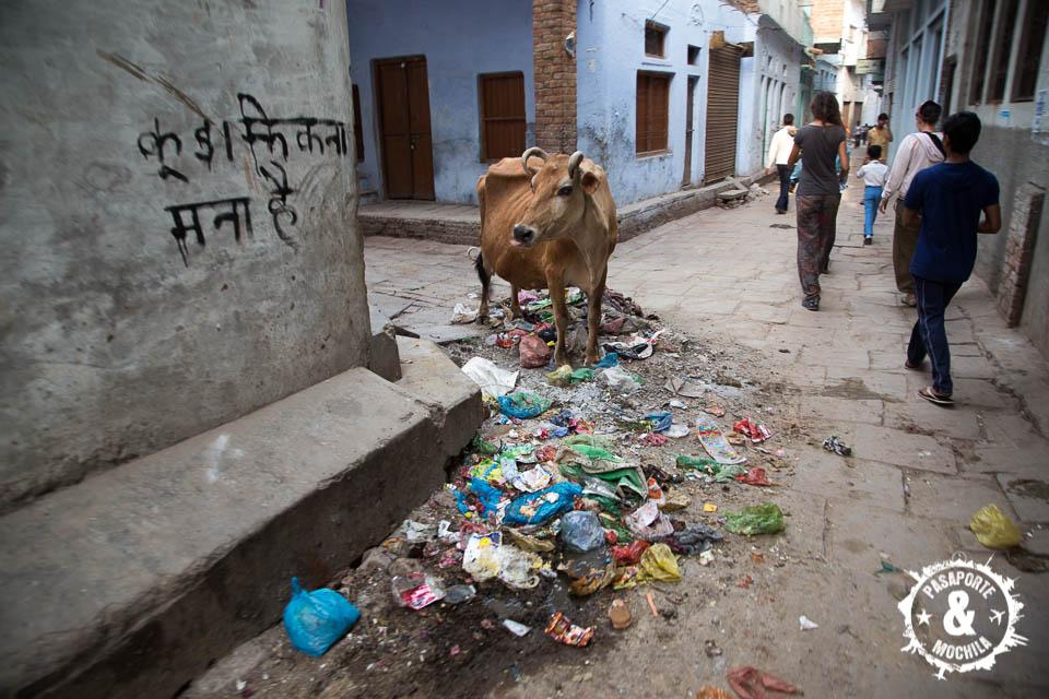 Vaca basurera