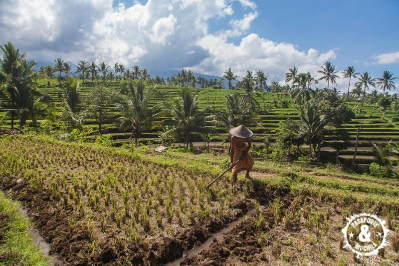 Labrando los arrozales.